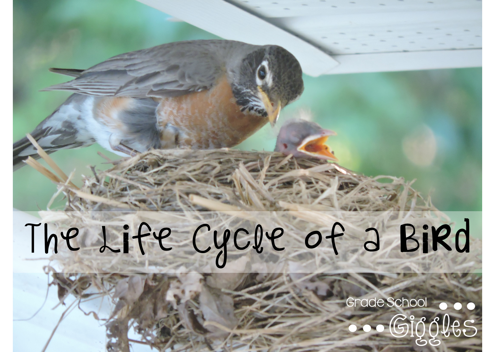 a day in the life of a bird The bird life cycle is a simple circle that moves from egg to hatchling to vulnerable nestling to fledgling learning to fly and finally to mature bird ready to mate.
